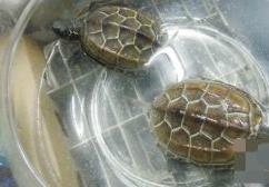 【荷塘】两只小乌龟(散文)